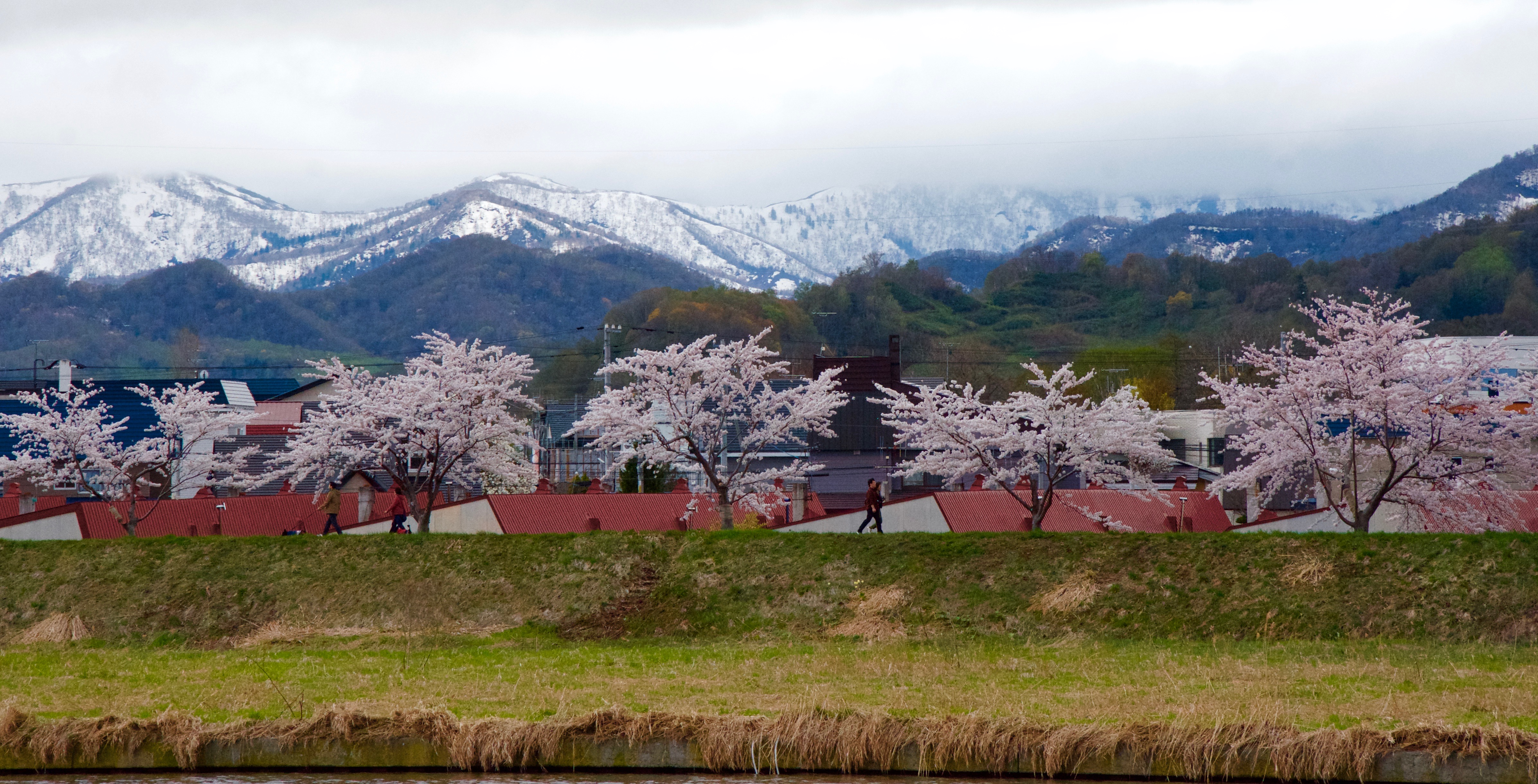 Cherry blossoms in Yoichi, Japan